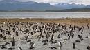 Magellán-pingvinek kolóniája.