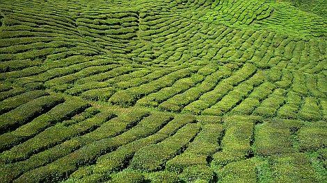 Cameron Highlands teaültetvényei - nézze meg nagyban is!