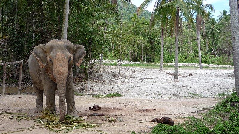 Turistáknak tartott elefánt, épp szolgálaton kívül.